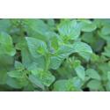 Basilikum Mint (Basil Genovese)