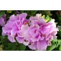 Petunia F1 Duo Satin Pink (Multiflora)