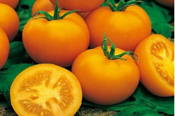 Tomat Golden Kønigen (Lycopersicon lycopersicum)
