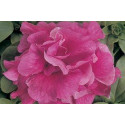 Petunia F1 Duo Rose (Multiflora)