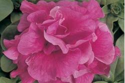 Petunia F1 Duo Rose (Multiflora)