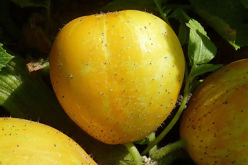 Agurk Lemon (Cucumber)