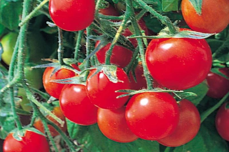 Cherrytomat Tumbling Tom Red (Solanum lycopersicum)