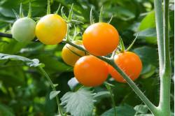 Cherrytomat Sun Baby (Solanum lycopersicum)