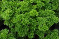 Kruspersille Bravour (Petroselinum crispum)