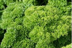 Persille Champion Moss Curled (Petroselinum crispum)