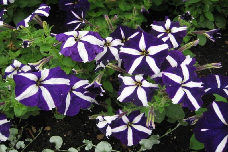 Petunia F1 Tritunia Blue Star (Grandiflora)