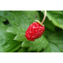 Skovjordbær Mignonette (Fragaria vesca)