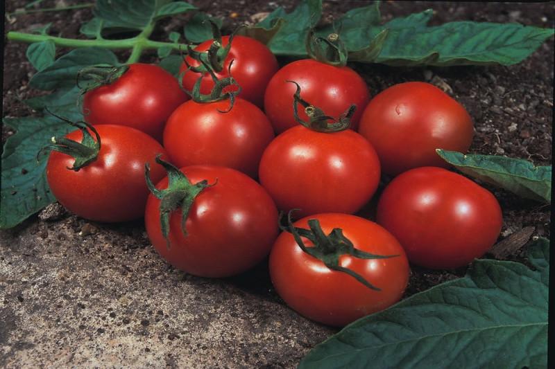 Tomat Alicante (Lycopersicon lycopersicum)