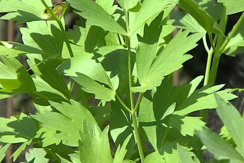Løvstikke (Levisticum officinale)
