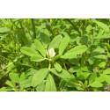 Bukkehorn Fenugreek (Trigonella foenum-graecum)