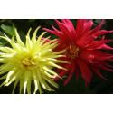 Dahlia Cactus bl. farver  (Dahlia variabilis)