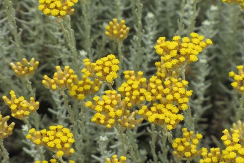 Karry plante (Helichrysum italicum)