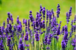 Lavendel Vera (Lavandula angustifolia)