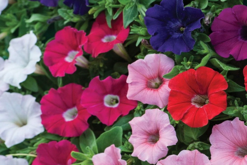 Petunia Compact Bedding bl. farver (Multiflora)