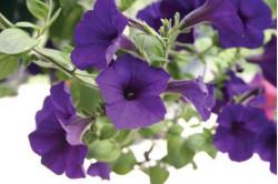 Petunia F1 Grandi Blue (Petunia Grandiflora)