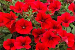 Petunia F1 Grandi Red (Petunia Grandiflora)
