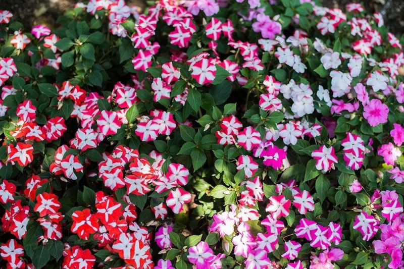 Flittiglise F1 Accent Star blandede farver (Impatiens walleriana)
