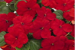 Flittiglise F1 Lollipop Cherry Red (Impatiens walleriana)