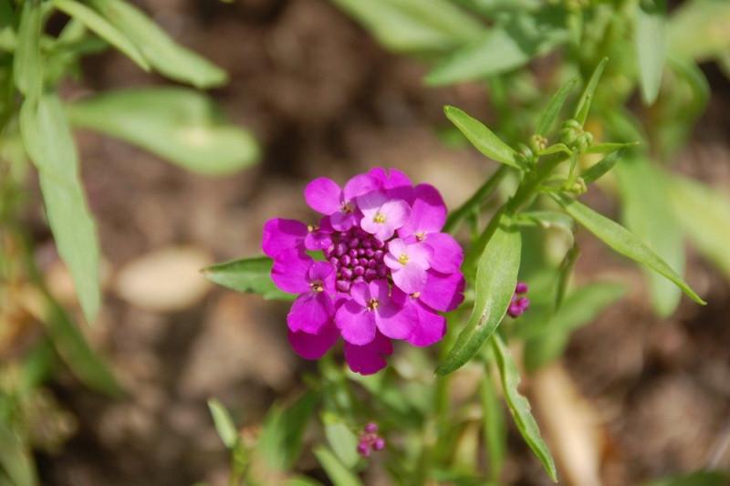 Skærm Sløjfeblomst 50 gram (Iberis umbellata nana)