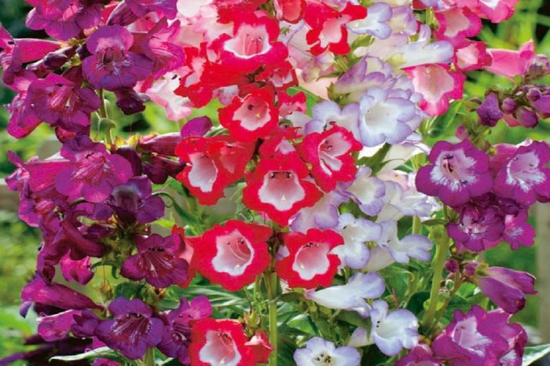 Rørblomst Sensation bl. farver (Penstemon gentianoides)