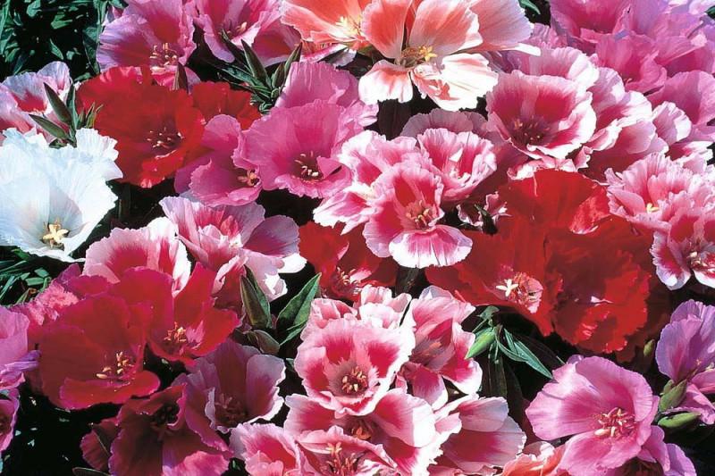 Atlaskblomst (Godetia grandiflora)
