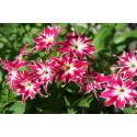 Floks Drummondii Twinkle Star - blandede farver (Drummond Phlox)