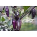 Chili Purple Tiger (Capsicum annuum)
