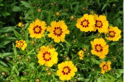 Skønhedsøje Baby Sun (Coreopsis grandiflora)