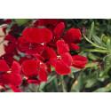 Gyldenlak - blood red (Cheiranthus Allionii)