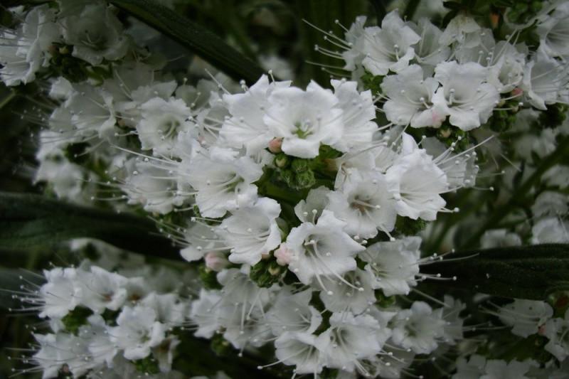 Slangehovedet White Bedder (Echium vulgare)