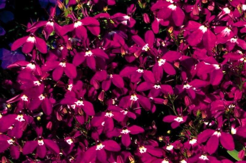 Lobelia Fountain Crimson (Lobelia erinus pendula)