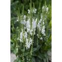 Drejeblomst - hvid (Physostegia virginiana)