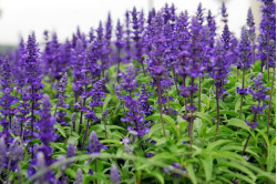 Salvie Superba Blue Queen (Salvia superba)