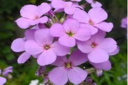 Aftenstjerne Sweet Rocket Purple (Hesperis matronalis)
