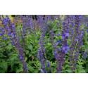 Salvie Big Blue (Salvia longispicata x farinacea)