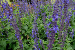 Salvia Big Blue (Salvia longispicata x farinacea)