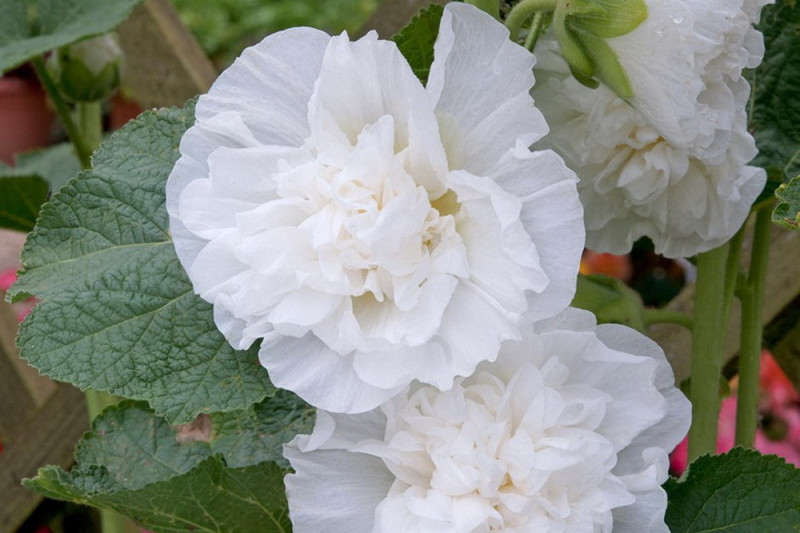 Stokrose Chater's dobbelt White (Alcea rosea)