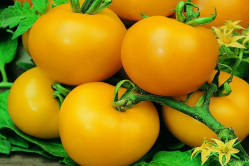 Cherrytomat Golden Sunrise (Solanum lycopersicum)