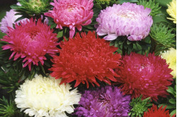 Asters Duchess Special bl. farver (Callistephus chinensis)