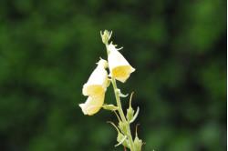 Fingerbøl Excelsior bl. farver (Digitalis mertonensis)