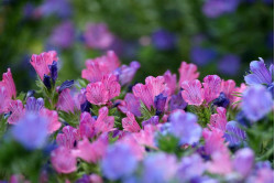 Slangehovedet Pink Bedder (Echium vulgare)