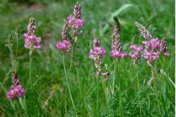 Esparsette (Onobrychis viciifolia)