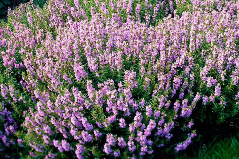 Ægte Isop Caeruleus Nectar Rose (Hyssopus officinalis)