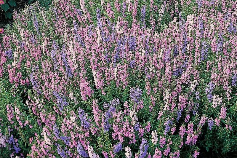 Ægte Isop Caeruleus blandede farver (Hyssopus officinalis)