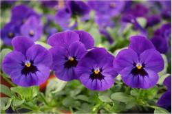 Hornviol Admiration (Viola cornuta)