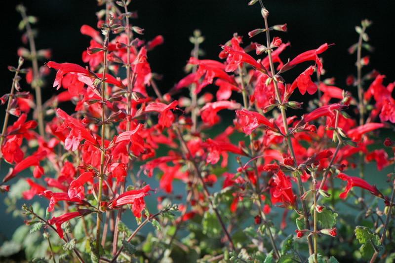 Salvia Arriba (Salvia)