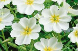 Natlys Pallida - hvide blomster (Oenothera palida)