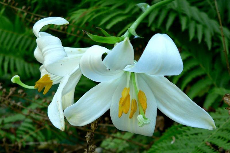 Lilje philippinense Lily (Lilium)