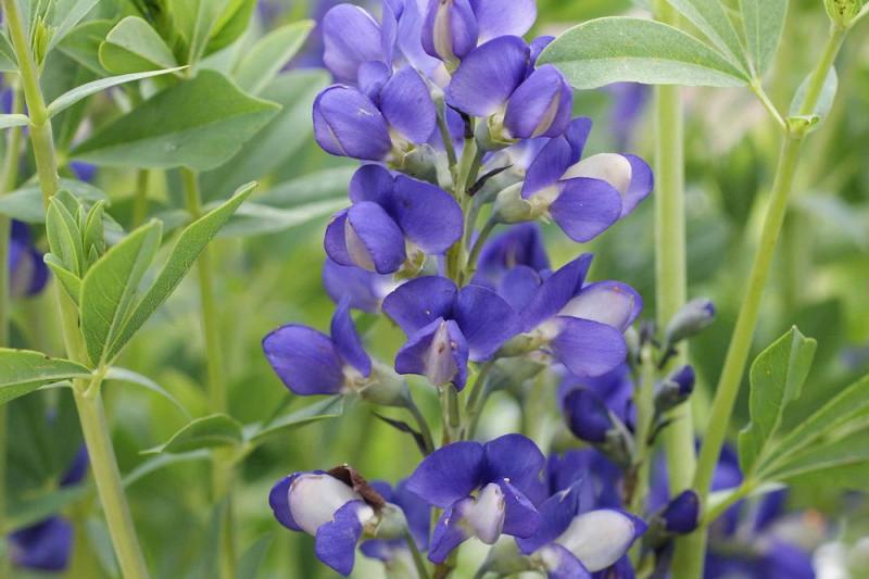 Farvebælg Australis blå (Baptisia)